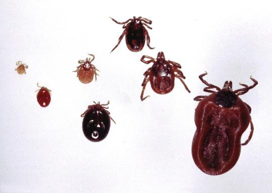 Vasemmalta oikealle: toukka, toukka veriaterian jälkeen, nymfi, nymfi veriaterian jälkeen, uros, naaras, naaras veriaterian jälkeen.